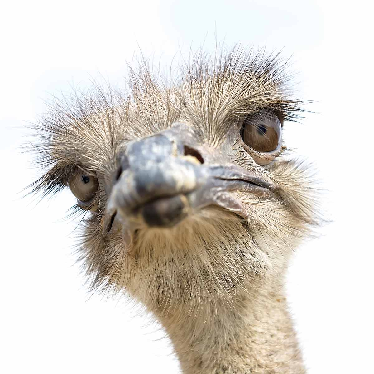 Ostrich paying attention